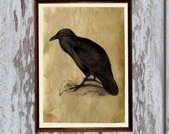 Antique raven print animal art Old paper home decor AK324