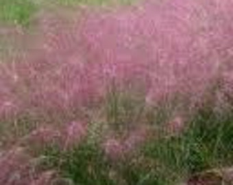 100 Ornamental  Purple Love Grass (Eragrostis spectabilis)  Grass Seeds