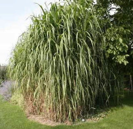 Items similar to giant miscanthus japanese maiden for Giant ornamental grass