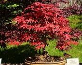 Heirloom 10 Seeds Japanese Red Maple Bonsai Tree Shrub T003