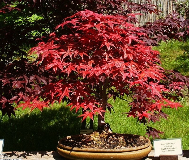 heirloom 10 seeds japanese red maple bonsai tree shrub t003. Black Bedroom Furniture Sets. Home Design Ideas