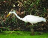 11x14 Snowy White Egret fine art photograph