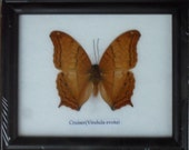 Real BUTTERFLY Collection Taxidermy in Frame / BTF01T