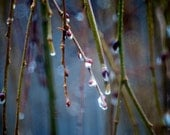 Rain Drops and Pussy WIllows 3 Nature Photography