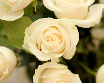 Cottage Style Ivory Roses - Flower Photo Print - Size 8x10, 5x7, or 4x6