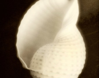 White Shell - Still Life - Sepia - Fine Art Photograph - Katherine Tippett