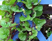 Malabar Red Spinach, Basella rubra, 100 seeds, tasty leaves, salads, stir fry, loves heat, great patio plant, hanging basket, showy plant