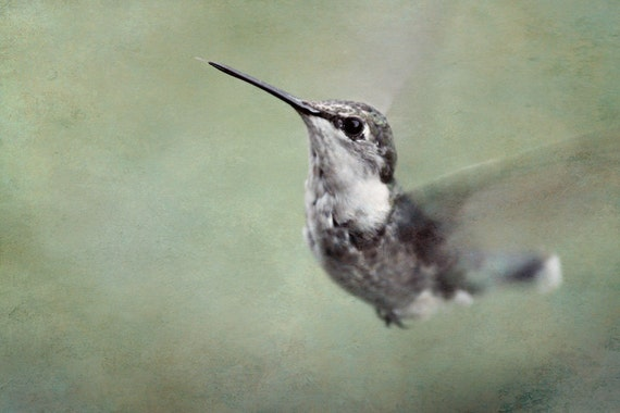 Hummingbird Photograph, Green and Gray Decor, Flying Bird, Shabby chic, Cottage Chic, Nature Photography, 8x10 Wall Print