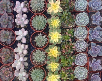 70 Succulent Wedding Favors, SUCCULENT PLANTS, Rosettes,