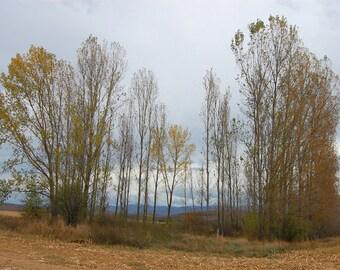 Autumn Forest Landscape Fine Art Photography , Wall Art , Home Decor - The Poplar Forest , 8 x 12