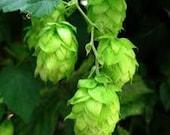 Hops, Humulus lupulus, Organic, Fresh Dried Herb - 4 oz bag,