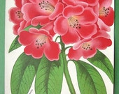 PINK RHODODENDRON  Evergreen Shrub - COLOR Lithograph Antique Print