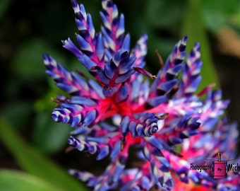 Bromeliad- Aechmea II (FREE SHIPPING in the U.S. only)-- customized card, print or canvas