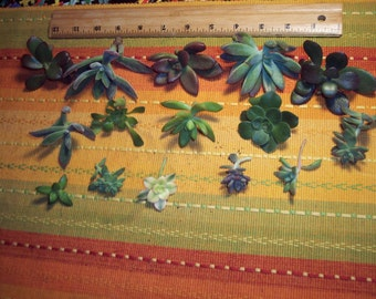 15 Rossette Succulent Cuttings for Terrariums, Bouquets, Living Walls, Indoor or Outdoor Garden