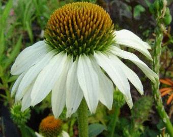 White Coneflower Seeds, Perennial Flower, 20 Seeds