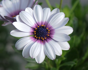 White Cape Daisy with Purple Center Seeds, Unique Garden Flower, 20 Seeds