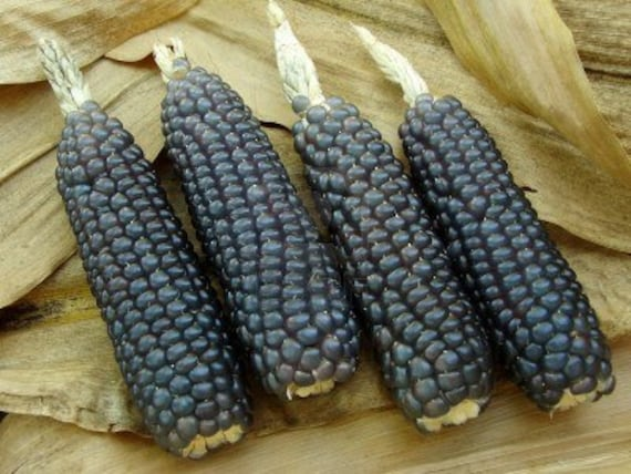 Indian Corn, Mini Blue, Easy to Grow, Use for Decorations, 20 Seeds