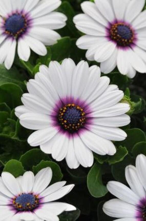 White Cape Daisy With Purple Center 25 Flower Garden
