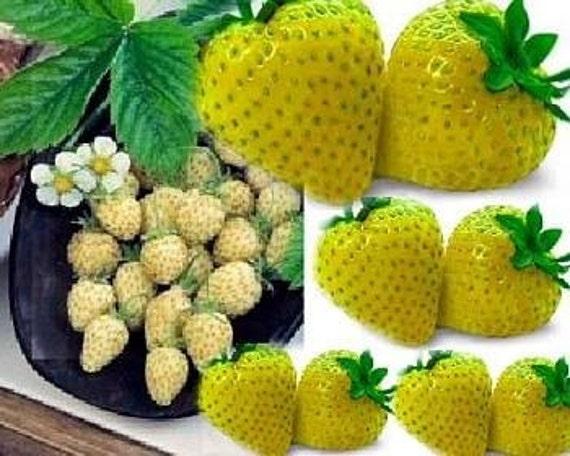 Erbstück, gelbe Wunder gelbe Erdbeere, 25 Samen