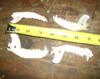 Raccoon Jaw bones