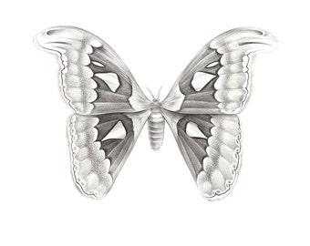 Original drawing - Atlas Moth