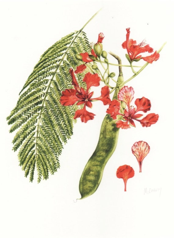 Items Similar To Poinciana Botanical Print From Original