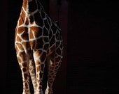 Giraffe / Animal Art / Zoo / Black / Brown / Nursery Decor / African Animal / Safari / 8x10 Photo
