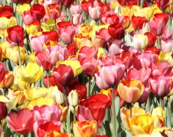Photo Print - Boston Public Garden, Boston Common, Bright Tulips, Pink and Orange and Yellow