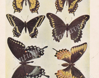 1902 Amazing Swallowtail Butterflies - Papilios Original Antique Plate of Color-Photograph