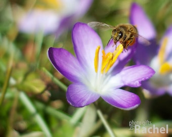 Bumble Bee and Purple Crocus Flower Photo Print or Canvas. This bumble bee is lunching on crocus nectar while dusted with yellow pollen.