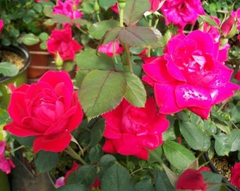 Double Knock Out Red Rose 2 Gal Live Plants Flower Plant Disease Resistant Roses