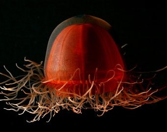 The deepsea jellyfish Crossota from the Arctic Ocean.