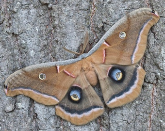 POLYPHEMUS MOTH  unmounted perfect moth insect butterfly specimens