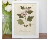 illustration of Rose of Sharon Hibiscus - framed fine art print, flower art, home decor FREE SHIPPING 114