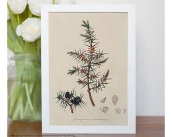 "Vintage illustration of Common Juniper - Framed fine art print, Botanical art, 8""x10"" ; 11""x14"", FREE SHIPPING - 77"