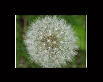Backyard Dandelion Seed, Flower Photography Print, 8x10 matted to 11x14, or 5x7 matted to 8x10,  Home Décor, Wall Art