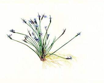 Prairie wildflower watercolor print, Blue-eyed grass