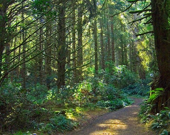 Image result for images of pine trees in Oregon woods