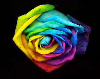 Rainbow Colored Rose. Fine Art Photography by Roy Hsu