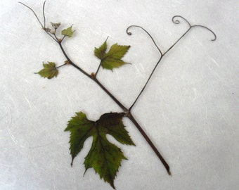 Dried Pressed Leaves / Botanicals. Grape vine sprigs with tendrils.