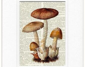 mushroom, Tawny Grisette print
