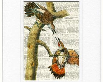 Flicker, Audubon woodpecker print