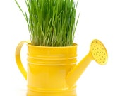 Spring Grass in Watering Can / 11x14  Photo / Modern Yellow Gardening Photography Still Life Fine Art Print - HUEphotography