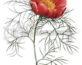 Red Leaf Peony Flower Clipart: High Resolution Printable Artwork, - Image No. R80 Instant Download