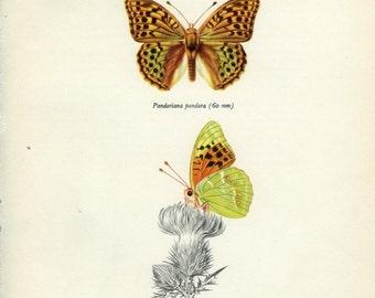 Vintage Butterfly Print, Silverstripe (121) Prochazka, 1964, Lepidoptera, Natural History, Frameable Art