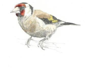 Print - Goldfinch - Pencil Drawing