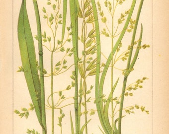 1893 American Milletgrass, False Oat-grass, Tufted Hairgrass Original Antique Chromolithograph to Frame