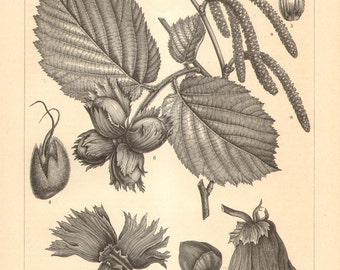 1895 Leaves, Nuts and Flowers of the Hazel Bush Original Antique Engraving to Frame