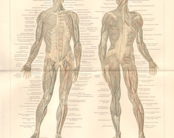 1896 Muscles of the Human Body Original Antique Lithograph