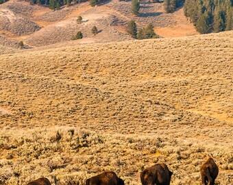 Wildlife wall art buffalo bison thunderbeast Yellowstone park landscape - In viaggio - Traveling